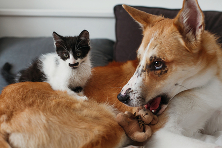 cute little kitty sitting on big golden dog on bed with pillows in stylish room. adorable black and white kitten and puppy with funny emotions playing together on blanket. best friends
