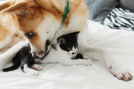 big golden dog smelling cute little kitty on bed with pillows in stylish room. adorable black and white kitten and puppy with funny emotions resting together. sweet moments