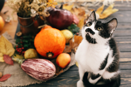Photo pour Cute cat sitting at beautiful Pumpkin in light, vegetables on bright autumn leaves, acorns, nuts on wooden rustic table. Hello Autumn. Fall season. Happy Thanksgiving concept - image libre de droit
