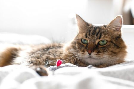 Photo pour Maine coon cat playing with mouse toy on white bed in sunny stylish room. Cute cat with green eyes lying and playing with with funny emotions on comfortable bed. Space for text - image libre de droit