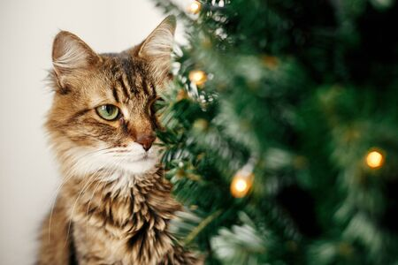 Photo for Maine coon cat with green eyes sitting at little christmas tree with lights. Cute kitty relaxing under festive christmas tree. Winter holidays. Pet and holiday - Royalty Free Image