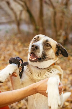 Portrait of cute dog giving paw to volunteer in autumn park. Adoption from shelter concept. Mixed breed yellow brown dog. Person hugging and playing with sweet dog playing with person