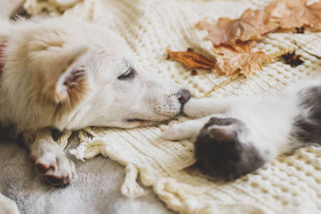 Cute white puppy lying with little kitten on soft bed in autumn leaves. Adoption concept. Dog and kitty relaxing on cozy blanket, furry friends.