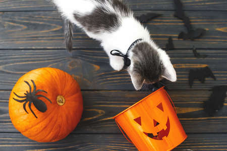 Foto de Trick or treat! Cute kitten playing at Jack o lantern candy bucket, pumpkin and bats on dark background. Kitten and holiday decorations, celebrating halloween at home - Imagen libre de derechos
