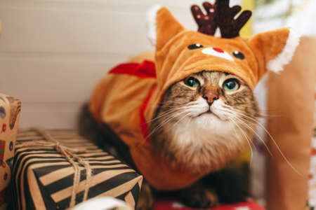 Sweet tabby cat in cute reindeer costume sitting on stylish present boxes under christmas tree. Portrait of Maine coon dressed in festive deer clothes. Adorable holiday moments, Merry Christmas!
