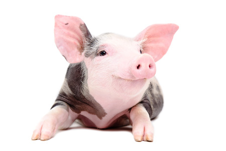 Portrait of the funny little pig isolated on white background