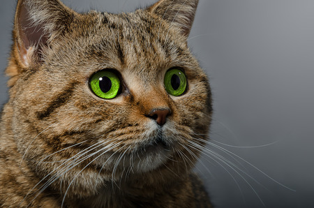 Portrait of a cat Scottish Straight with green eyes