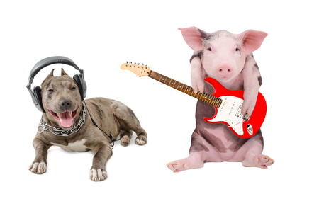 Pit bull in the headphones and a pig plays guitar, isolated on white background