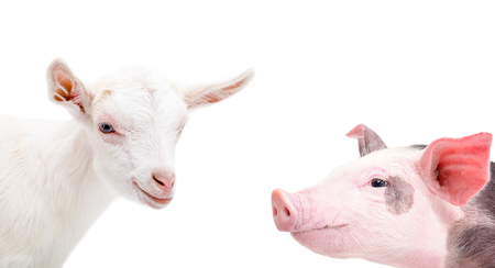 Portrait of a goat and pig, closeup, isolated on white background