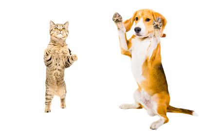 Photo for Cat Scottish Straight and Beagle dog - Royalty Free Image