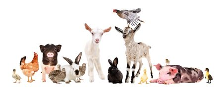 Photo pour Group of farm animals together isolated on white background - image libre de droit