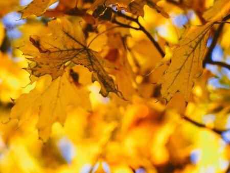 Photo pour Golden maple leaves on a autumn tree in sunny park - image libre de droit