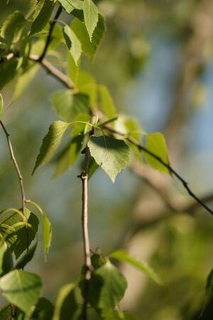 Photo pour Young birch tree leaves on the branches closeup. - image libre de droit