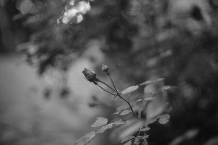 Photo pour Bush of yong rose flower grow in the summer garden. BW photo. - image libre de droit