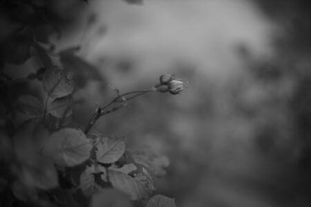 Photo pour Bush of rose flower grow in the summer garden. BW photo. - image libre de droit