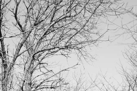 Photo pour Old tree with bare branches in clear sky. BW photo - image libre de droit