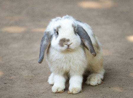Cute little rabbit with long floppy ears standing on the ground. Selective focusing. A lop-eared rabbit.