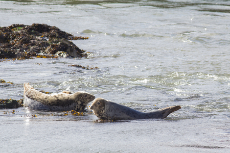Harbor seals resting on a shallow water in Scotland