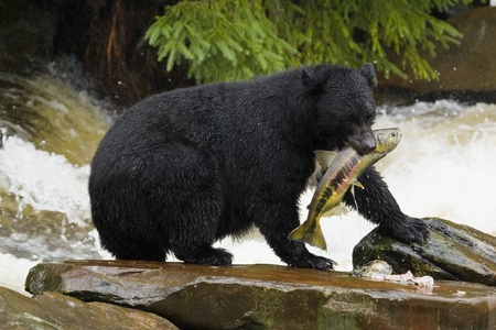 Lunch For Black Bear