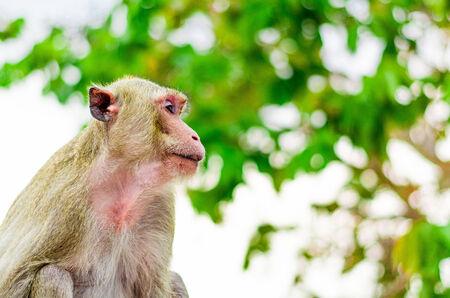 Thai monkey2