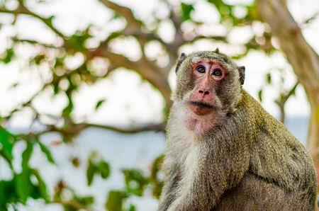 Thai monkey1