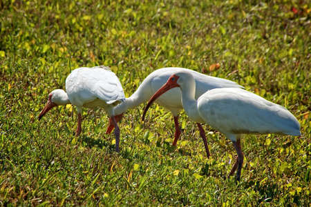 three white heron egrets foraging in a field of green grass