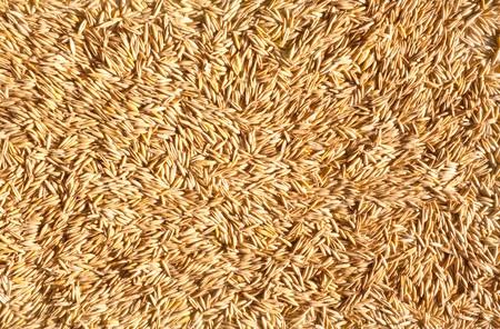 Ripe grains of oat. Background from grain
