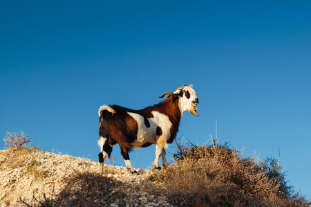 Photo pour A wild goat on a rocky cliff in the mountains. Goat in the wild. Animals at sunset. Animals Of Cyprus. Wild Goat in the mountains - image libre de droit