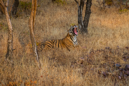 Photo for A female Royal bengal tiger in the nature habitat. Tiger sitting yawn during the golden light time. Wildlife scene with danger animal. Hot summer in India. Dry area with beautiful indian tiger, Panthera tigris at Ranthambore National Park, Rajasthan, India - Royalty Free Image