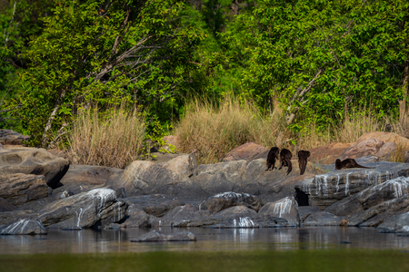 otters of chambal river. A habitat image of Smooth-coated otter (Lutrogale pers) family pups are playing in morning light on rock stones at the bank of chambal river rawatbhata, kota, rajasthan, india