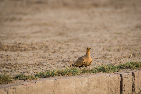 Foto de Painted Sandgrouse or Pterocles indicus near waterhole to quench the thirst in winters at jhalana forest, jaipur, rajasthan, india - Imagen libre de derechos