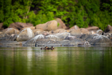 A habitat image of Smooth-coated otter (Lutrogale pers) pair eating fish in morning light with green trees reflection in a calm water of chambal river at rawatbhata, kota, rajasthan, india