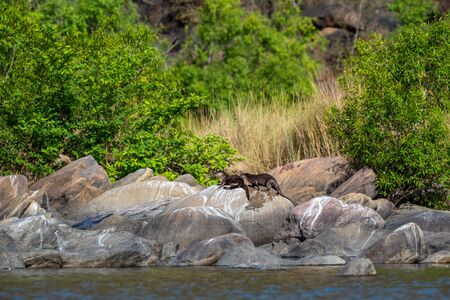Chambal river Smooth coated otter Lutrogale pers or Lutrogale perspicillata family pups are playing in morning light on rocks with green background at the bank of chambal river rawatbhata, kota, india