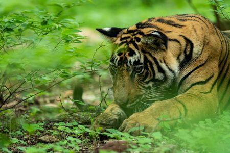 Photo for Wild male tiger head shot in monsoon green at ranthambore national park, india - panthera tigris tigris - Royalty Free Image