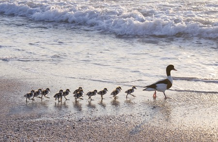 Family of ducks walking a straight line in front of the sea.
