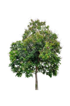 Photo pour Beautiful green tree (Lagerstroemia floribunda) isolated on white background. - image libre de droit