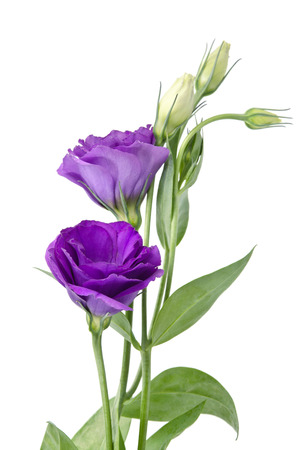 Light purple flowers isolated on white. eustoma