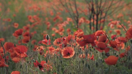 Spring meadow with red poppies. Beautiful natural spring background