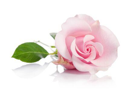 Photo for single pink rose isolated on white background - Royalty Free Image