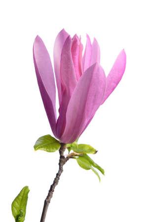 Photo pour Beautiful delicate purple magnolia close up isolated on white background - image libre de droit