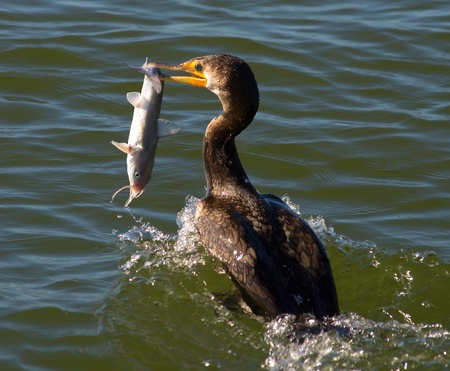 Cormorant bird trying to eat a saltwater catfish