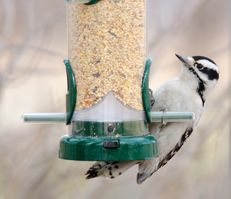 Downy woodpecker at bird feeder, Barr Lake, Colorado