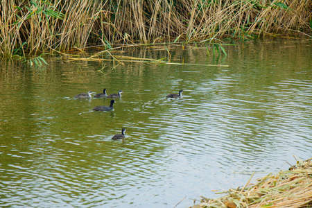 Photo for A flock of wild ducks swims through labor. - Royalty Free Image