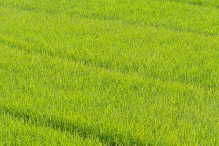 Photo pour Rice Field  In Thailand green rice farm, Green Background - image libre de droit