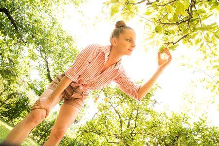 Photo pour A young woman harvesting organic Apples in her garden - image libre de droit