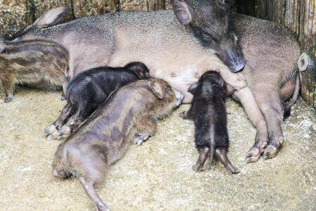 Boar family animal