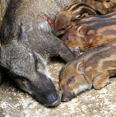 Snugness of small family pig