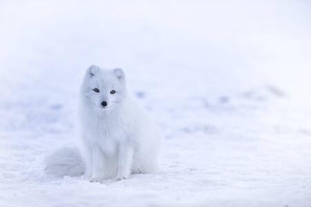 Photo pour white fox in the snow - image libre de droit