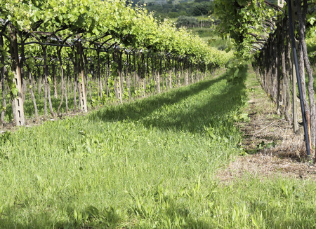 vines and vineyards