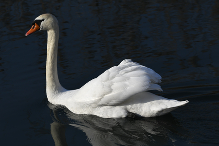 bath time for swan